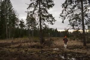 Svensk vit älghund på myr liten
